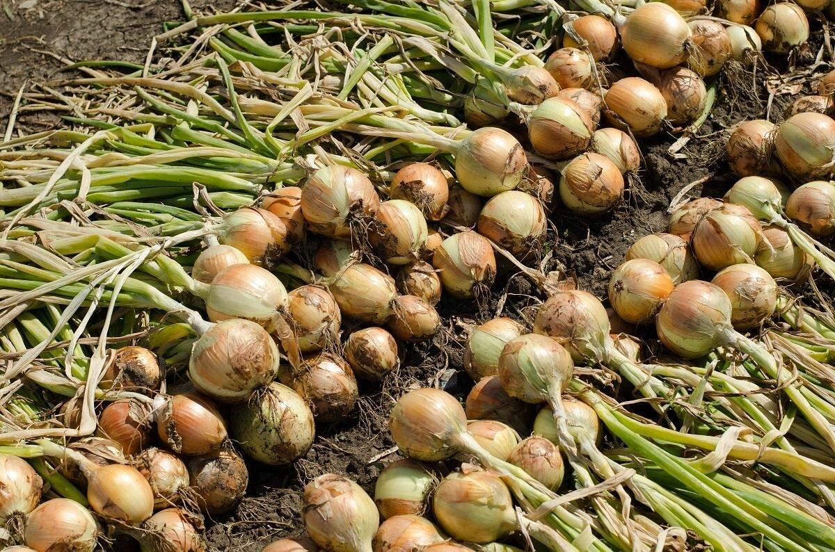 Уникальный посадочный материал — чеснок-однозубка. что это такое и как его сеять?