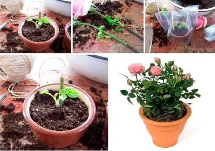 Размножение роз черенками летом в саду фото видео