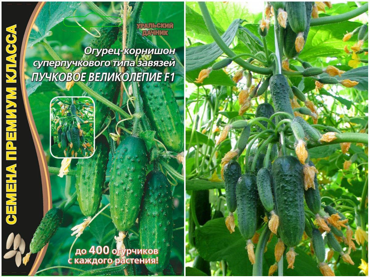 Пучковые сорта огурцов: фото гибридов, посадка, выращивание в теплице и грунте |