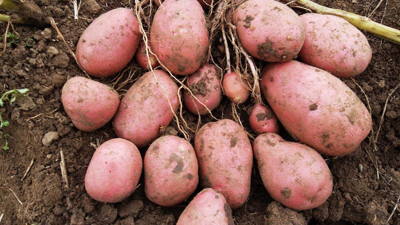 Самые ранние сорта картофеля: 15 лучших, их описания, характеристики и фото