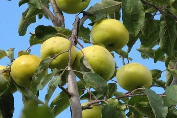 Яблоня августина — компактный и урожайный сорт