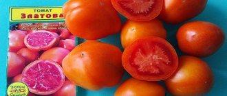 Томат юбилейный тарасенко – один из самых устойчивых к фитофторе сортов