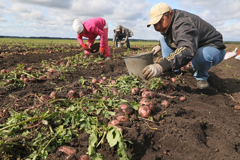 Как в дождливое лето спасти картофель, правила посадки, ухода и сбора урожая