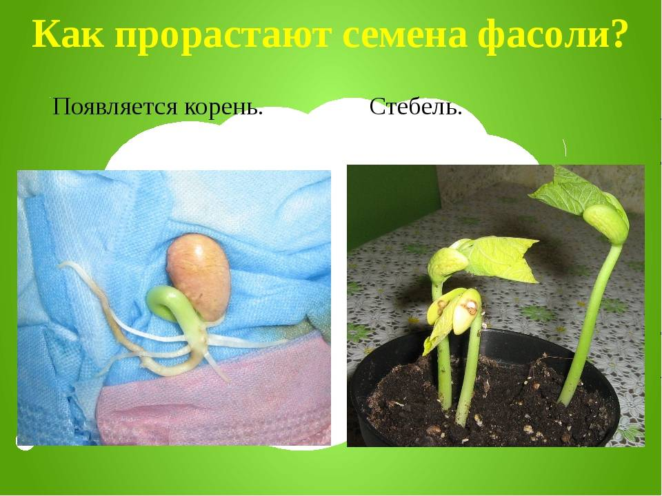 Как вырастить фасоль в домашних условиях: как её посадить, ухаживать за ней и собирать полученный урожай