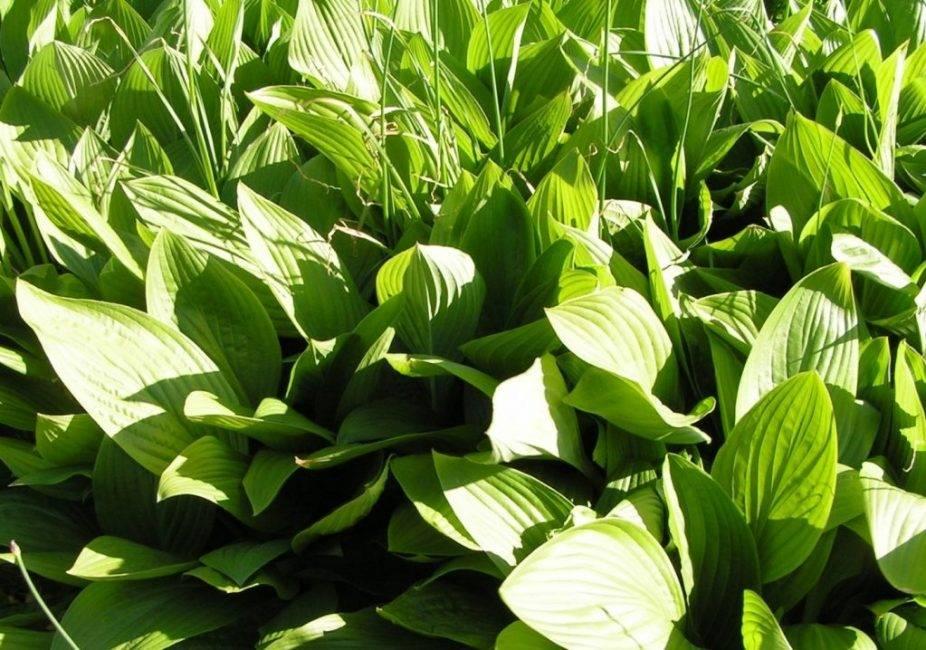 Хоста подорожниковая (21 фото): описание, посадка и уход. «афродита», «грандифлора» и другие сорта hosta plantaginea