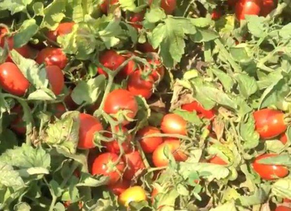 Описание сорта томата грот, его характеристика и уход