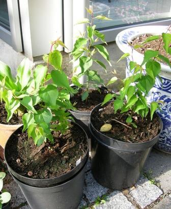 Как вырастить абрикос из косточки: пошаговая инструкция, выращивание как вырастить абрикос из косточки: пошаговая инструкция, выращивание