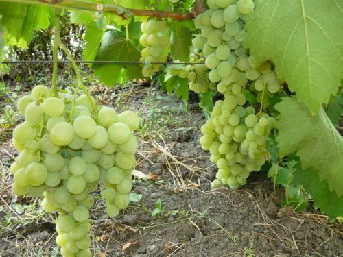 Виноград анюта: описание и особенности сорта, посадка и уход, советы садоводов