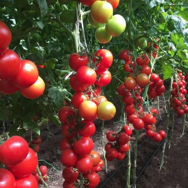 Томат «благовест»: отзывы, фото. урожайность высокорослого гибрида