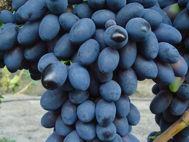 Виноград молдова: описание сорта с характеристикой и отзывами, особенности посадки и выращивания, обрезка, фото
