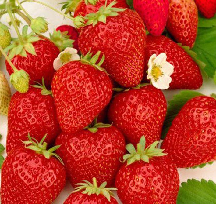 Клубника «остара»: характеристика сорта и агротехника