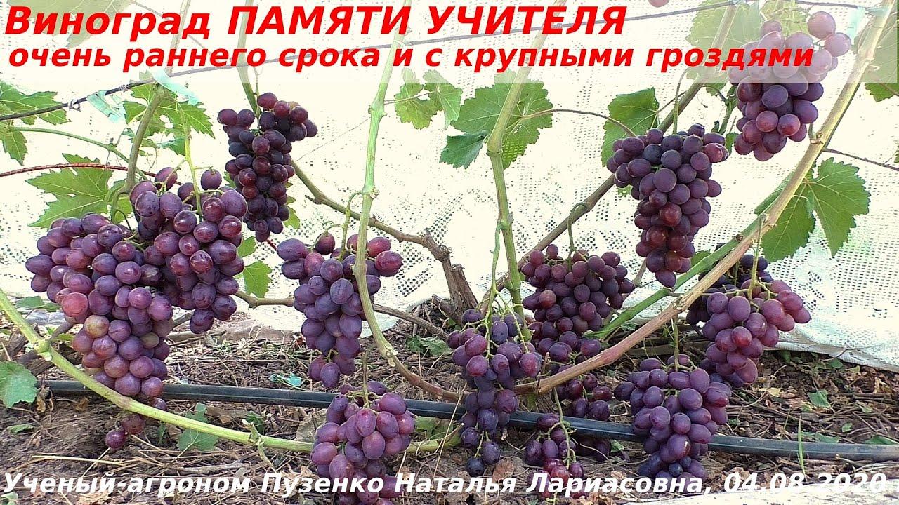 50 фото винограда «памяти учителя», ? особенности сорта, посадка и уход, его полезные свойства и противопоказания