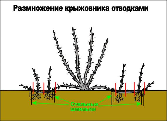 Крыжовник: посадка и уход в открытом грунте, видео