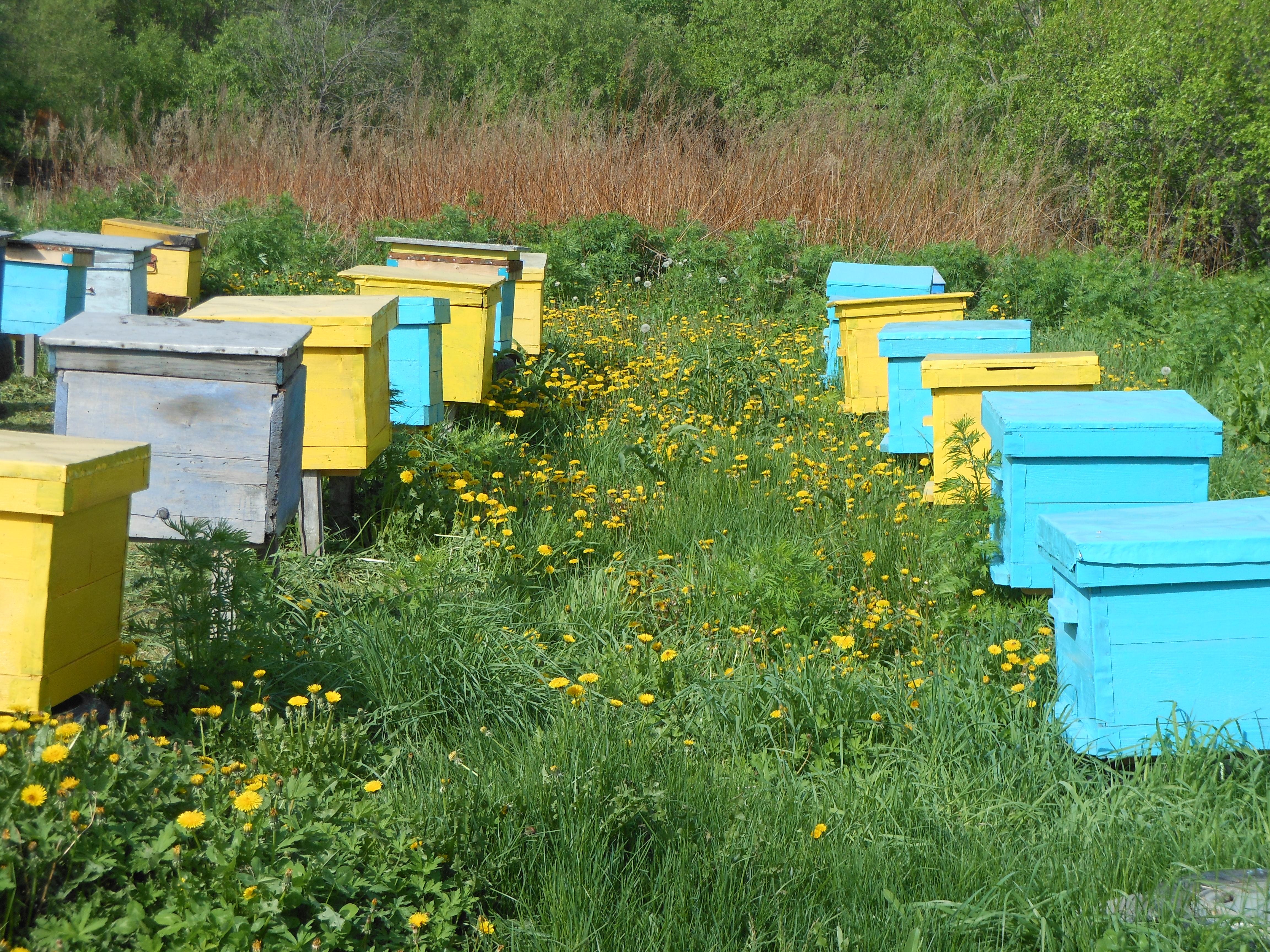 Особенности разведения и содержания пчел: с чего начать разведение пчел,лучшие способы и советы, подготовка пасеки, развод маток
