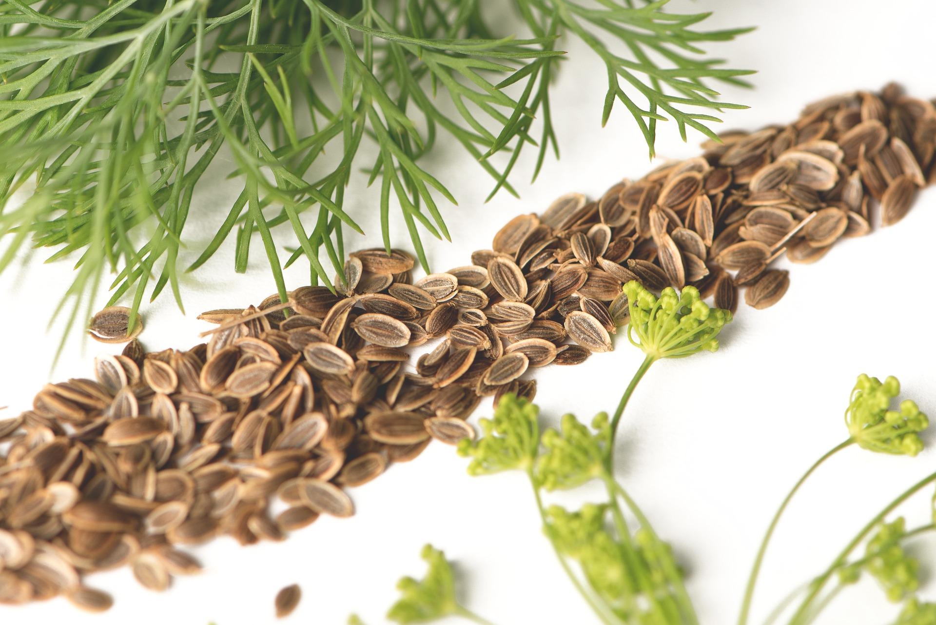 Семена укропа: лечебные свойства, противопоказания, как принимать
