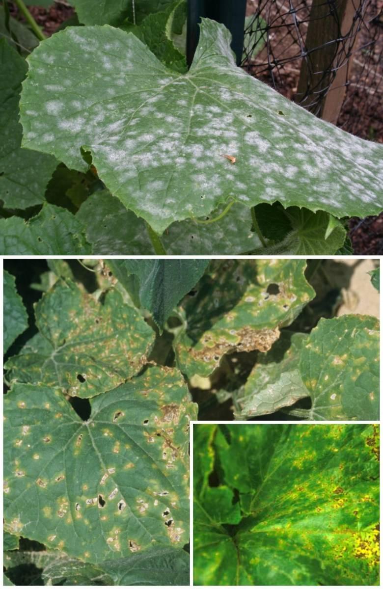 Что делать если на листьях огурцов появились желтые пятна: как лечить