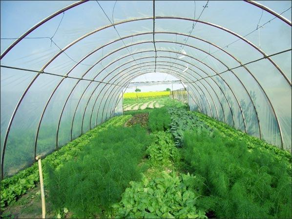 Кориандр, или кинза — описание, выращивание в открытом грунте, теплице и дома, проблемы и решения