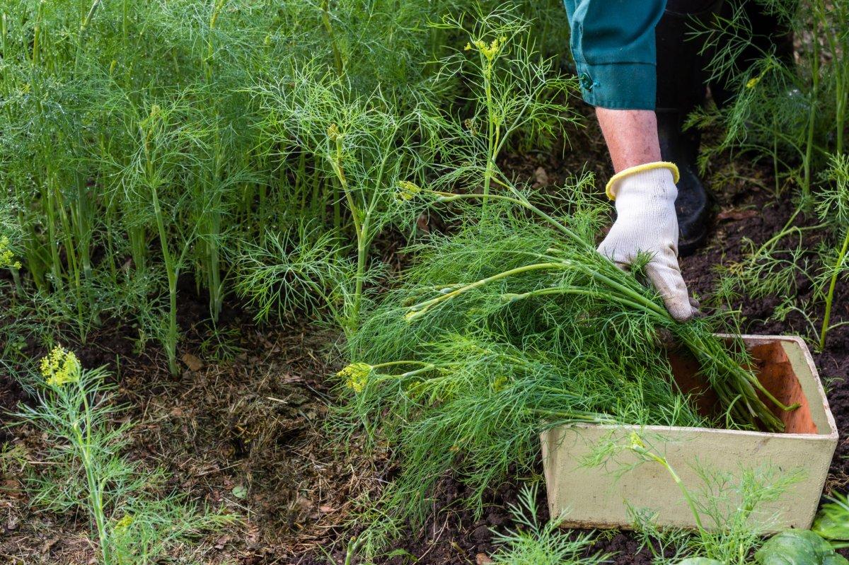 Какой сорт укропа лучше посадить | садоводство24