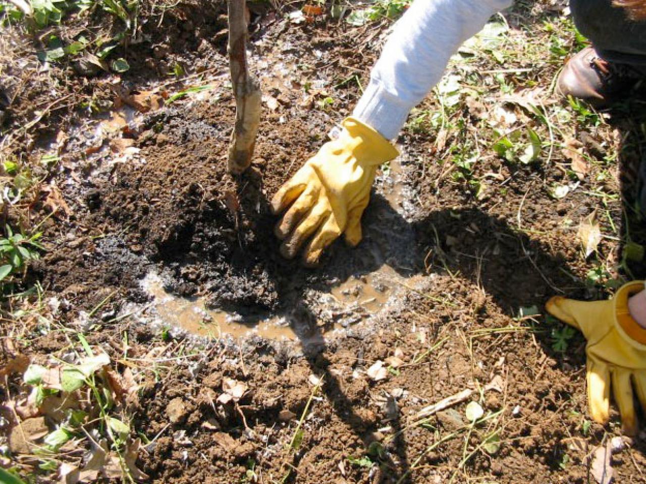 Алыча в саду: выращивание разными способами, обрезка и уход за деревом