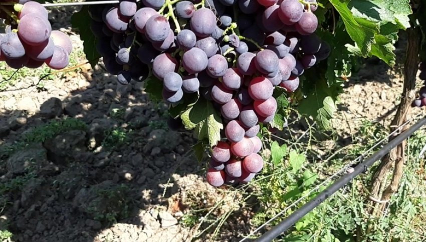 Виноград кардинал: описание сорта розовый, особенности, характеристики и фото selo.guru — интернет портал о сельском хозяйстве