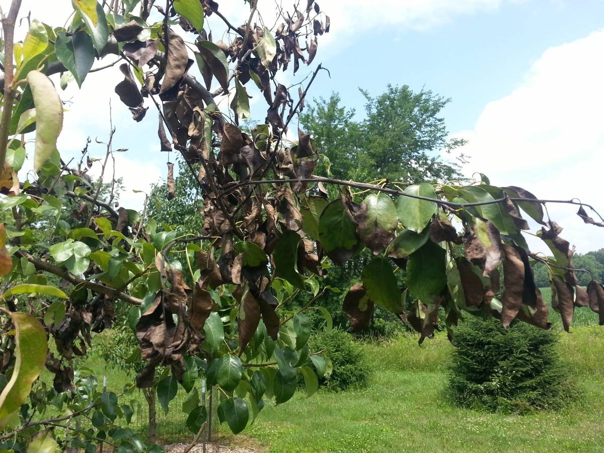 Скрученные листья у груши фото почему закручиваются что делать - скороспел