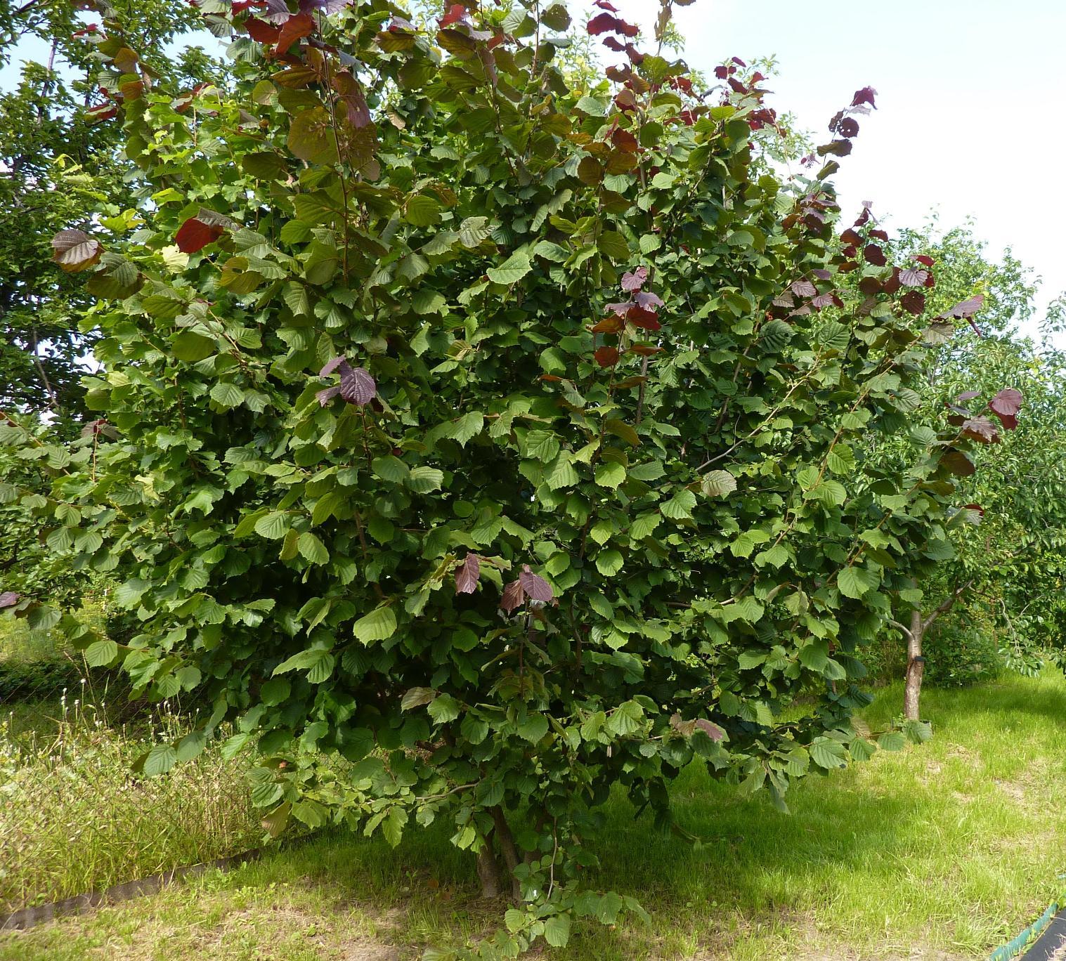 Лещина обыкновенная (фундук) – посадка, уход за орешником, как выглядит дерево?