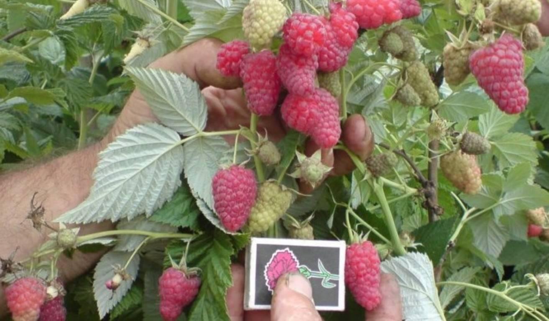 Малина «Полана»: описание и особенности выращивания высокоурожайного сорта