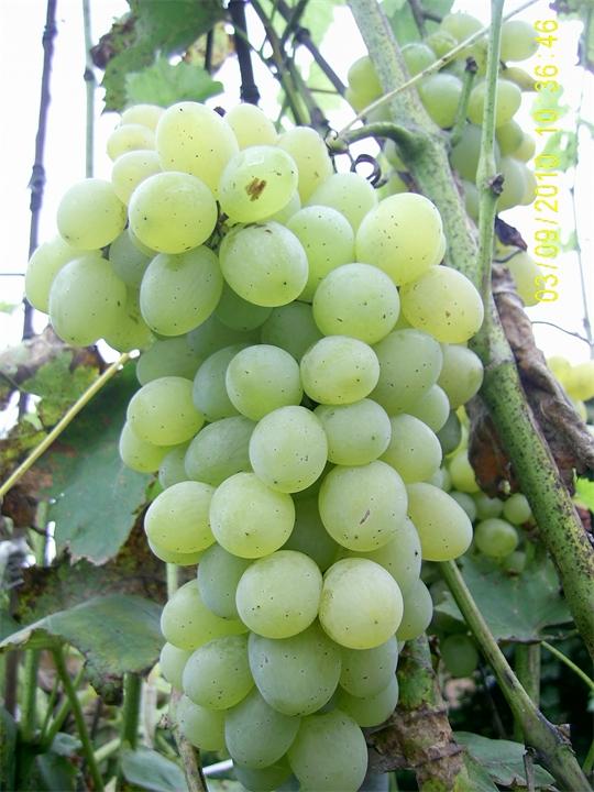 ᐉ определение сортов и видов винограда - roza-zanoza.ru