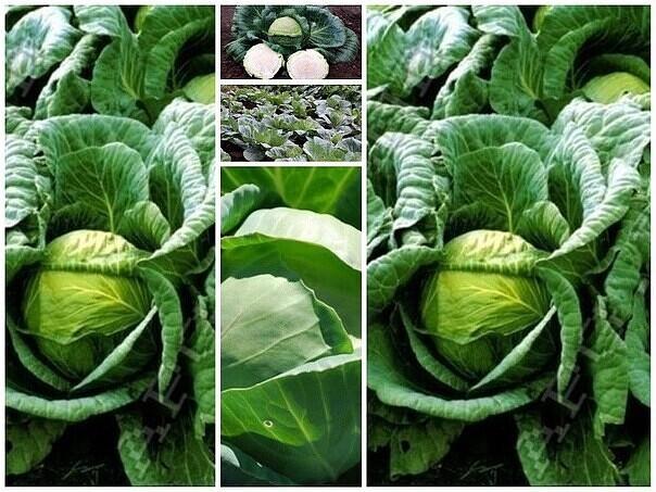 Главные причины, почему капуста плохо растет в открытом грунте. как получить хороший урожай?