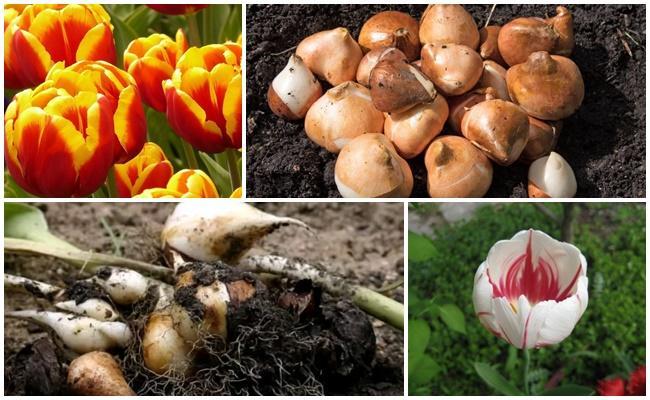 Обработка луковиц тюльпанов перед посадкой: рецепты растворов