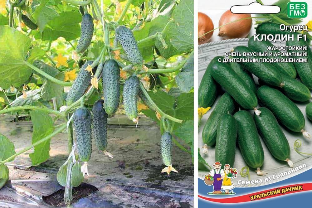 Лучшие сорта огурцов для открытого грунта по рекомендациям селекционеров и огородников