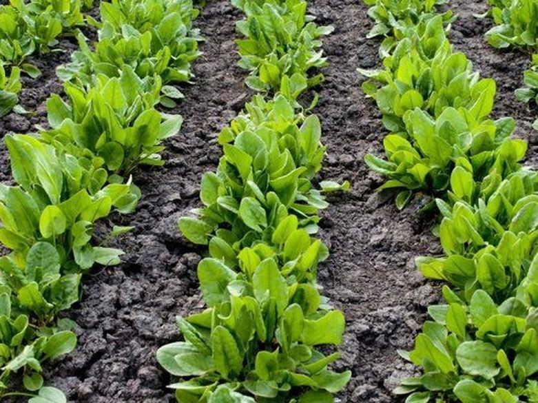 Как выращивать щавель в открытом грунте и в домашних условиях? рекомендации на ydoo.info