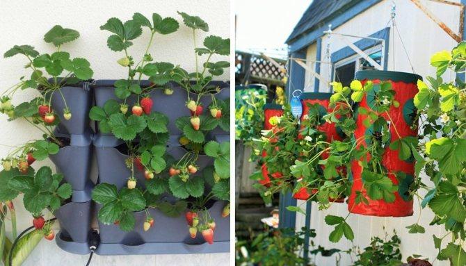 Выращивание клубники дома: посадка, правила ухода, советы и фото