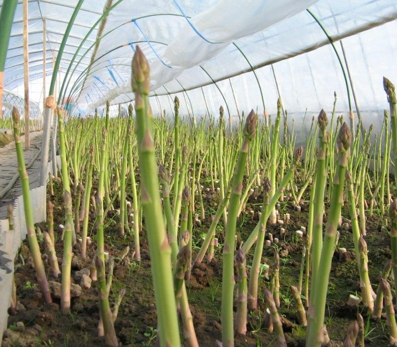 Выращивание спаржи: посадка, способы размножения, уход, подкомка