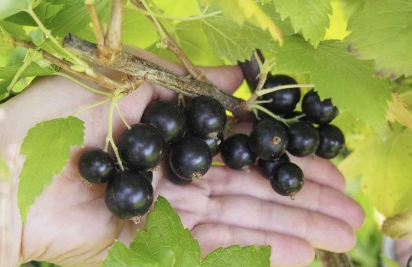 Характеристики и описание смородины сорта Черный жемчуг, посадка и уход