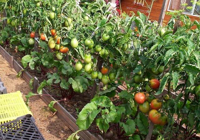 Штамбовые сорта томатов с фото и описанием