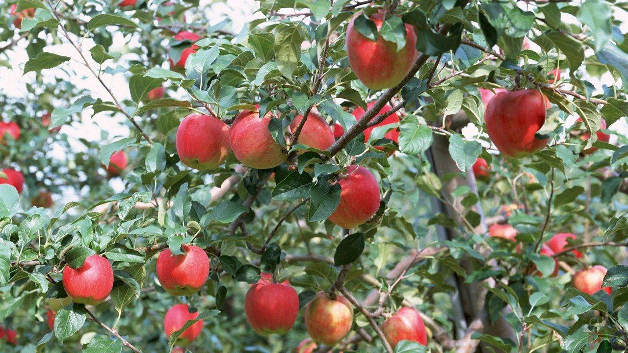Описание сорта яблони моди: фото яблок, важные характеристики, урожайность с дерева
