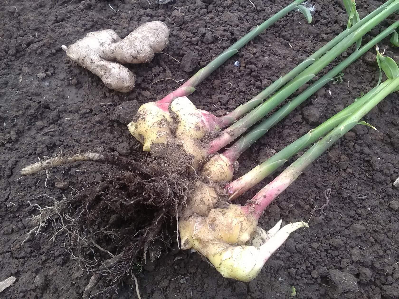 Выращивание имбиря на даче: как вырастить корень на огороде, посадка и уход