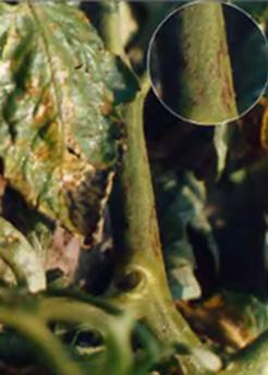 Альтернариоз томата – причины, симптомы и меры защиты (+21 фото)