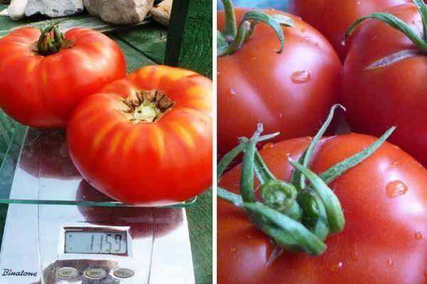 Томат делишес: описание сорта, отзывы, фото, урожайность   tomatland.ru