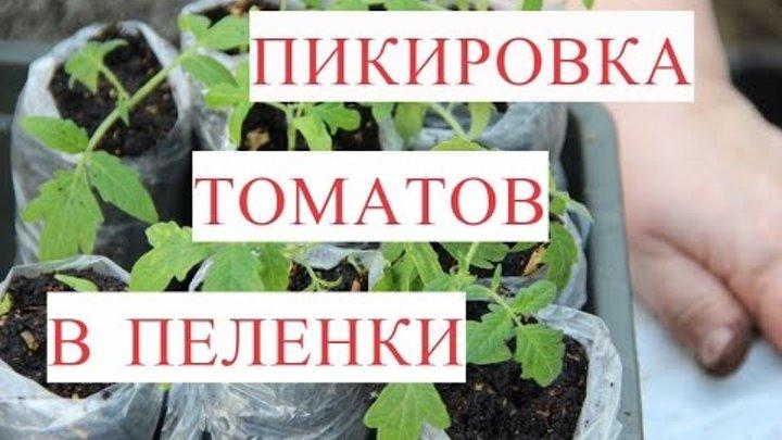 Как правильно посадить рассаду помидоры без пикировки