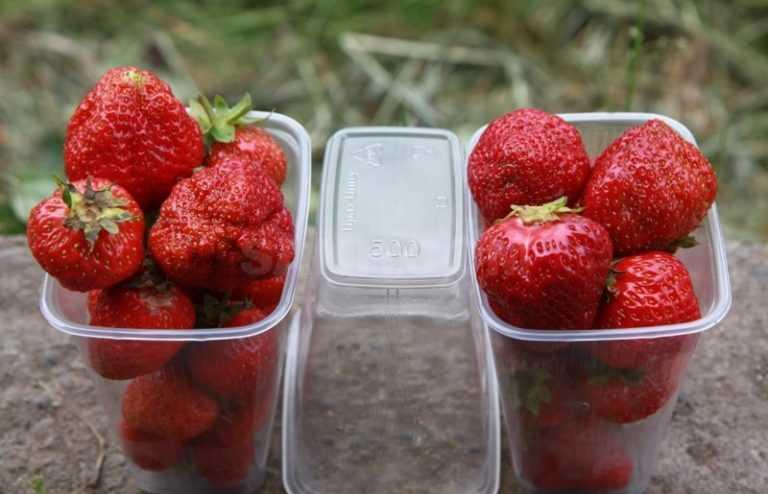 Клубника фестивальная: описание и основные характеристики сорта, фото ягод