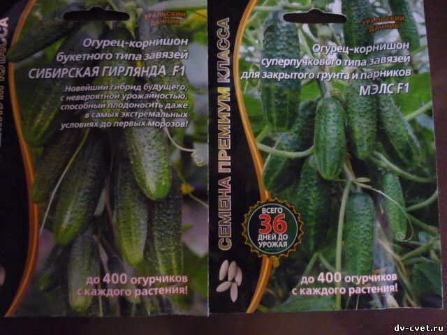 Пучковые сорта огурцов: выращивание, посадка и уход, фото
