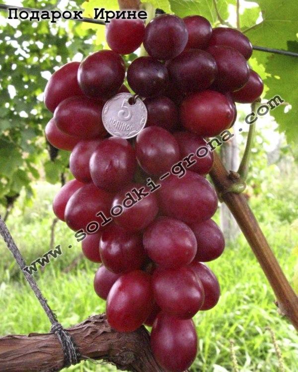 Особенности и описание сорта винограда подарок несветая