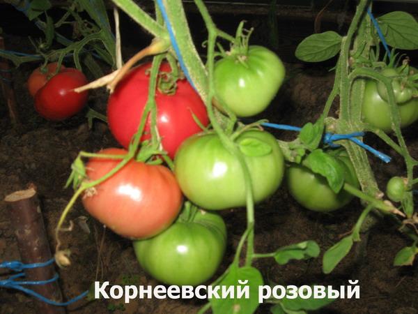 Помидор корнеевский розовый для тех, кто любит крупные томаты