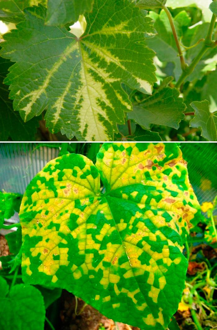 Хлороз растений: причины и лечение, препараты, что нужно делать
