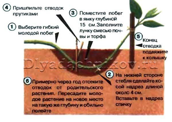 Клематис: размножение семенами, особенности посадки в грунт, правила ухода и рекомендации специалистов - sadovnikam.ru