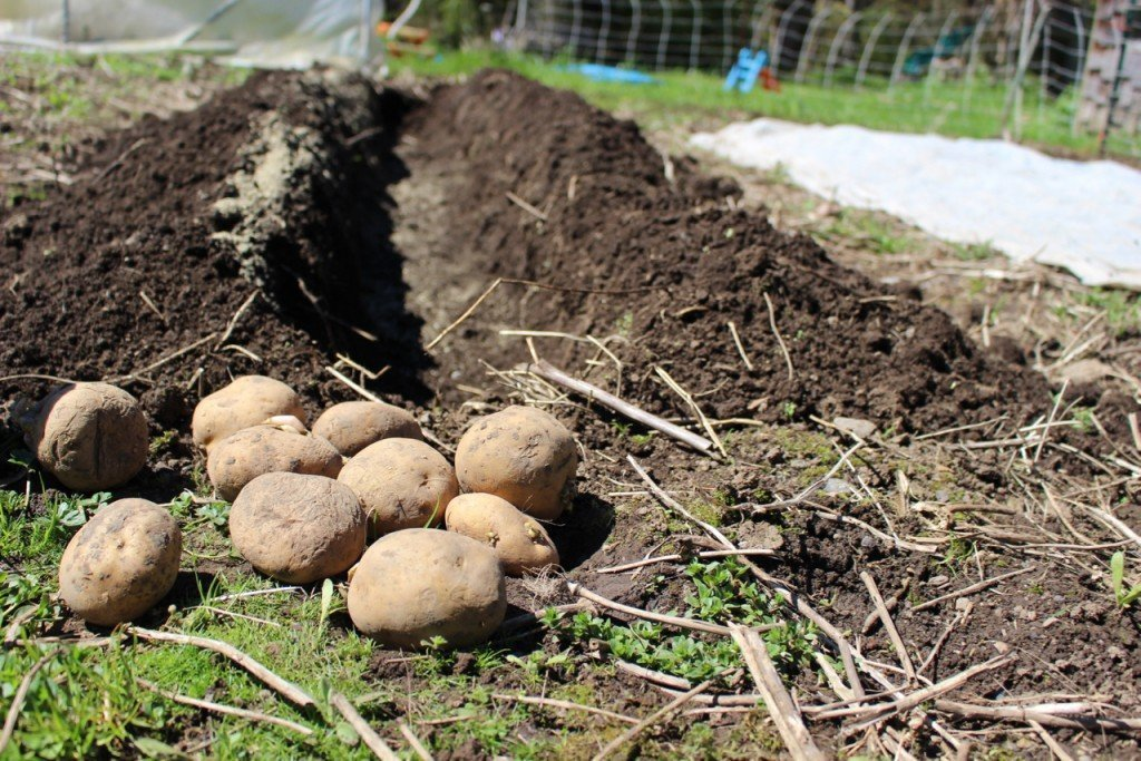 Посадка картофеля: как правильно посадить картошку, чтобы получить хороший урожай, когда сажать в открытый грунт и в теплицу