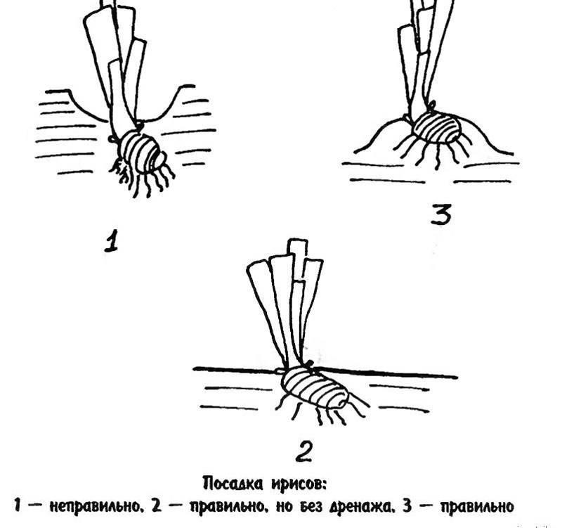 Посадка луковичных ирисов в открытый грунт весной и осенью: сроки, схемы, правила