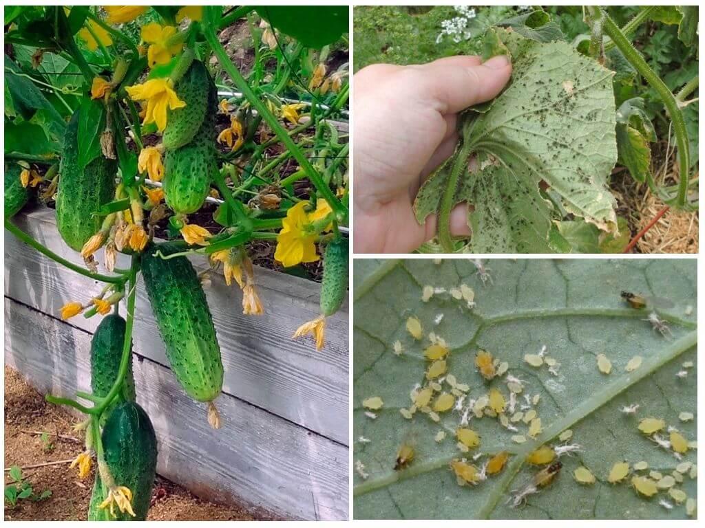 Причины болезней огурцов в открытом грунте и борьба с ними